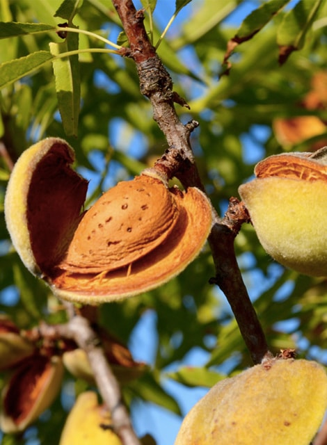 ALMOND SEED OIL